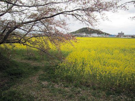 耳成山と枝垂桜