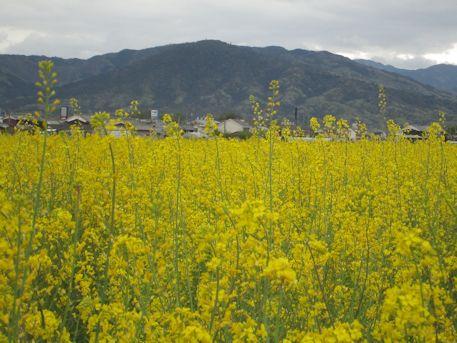 三輪山と菜の花畑