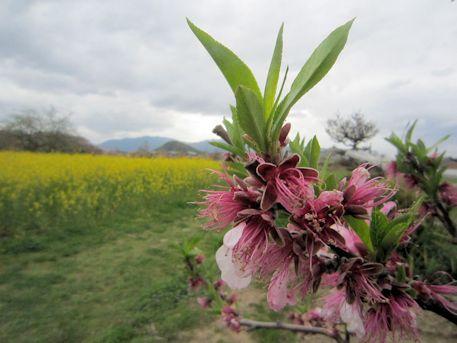 畝傍山と桃の花