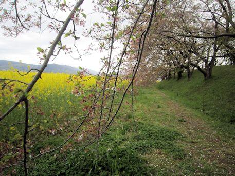 藤原宮跡の枝垂桜