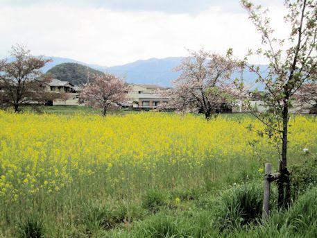 畝傍山と菜の花