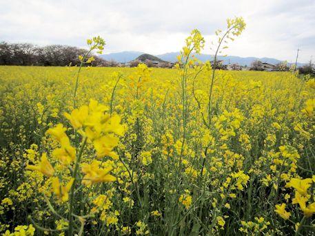 菜の花と畝傍山