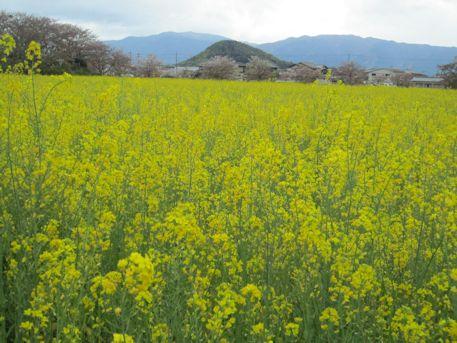 畝傍山と菜の花畑