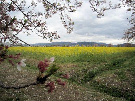 三輪山と菜の花