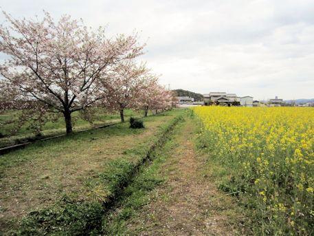 菜の花畑の畦道