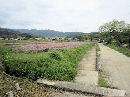 弥勒石周辺の蓮華畑
