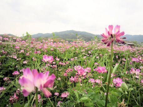 明日香村の蓮華畑