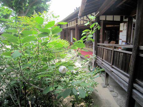 璉珹寺のオオヤマレンゲ