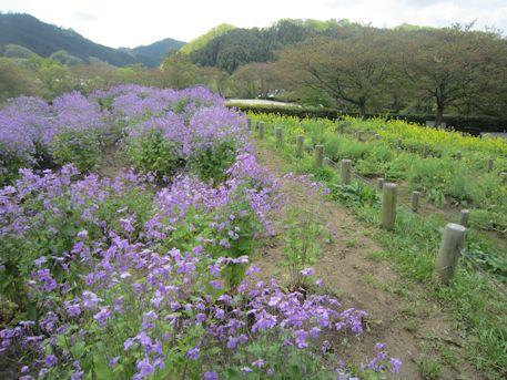 オオアラセイトウと菜の花
