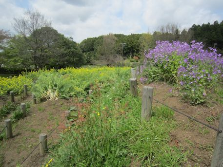 菜の花とオオアラセイトウ