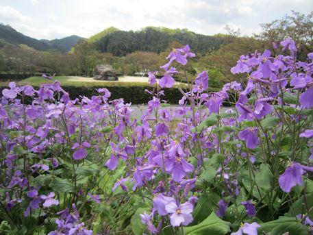石舞台古墳の紫花菜