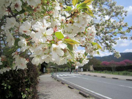 石舞台古墳地区の桜