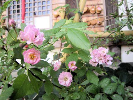 おふさ観音のバラ