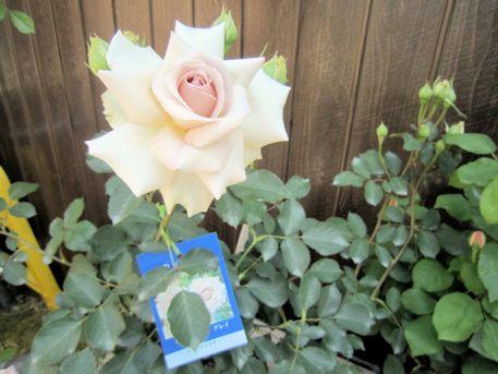 薔薇『ダイアモンドグレイ』