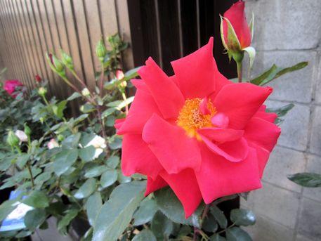 薔薇『貴船』