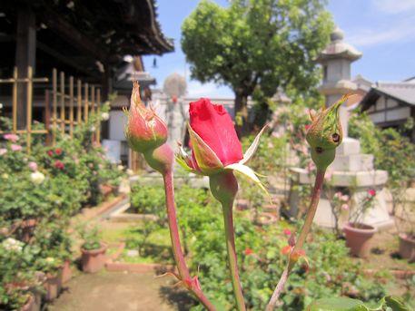 おふさ観音本堂前の薔薇