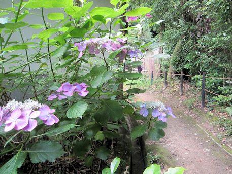 大神神社の紫陽花