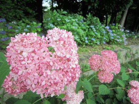 馬見丘陵公園の紫陽花