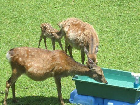 鹿苑の白鹿