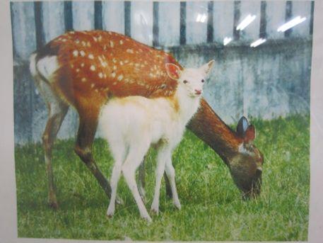 奈良公園の白鹿