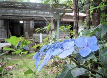 きよめの滝の紫陽花
