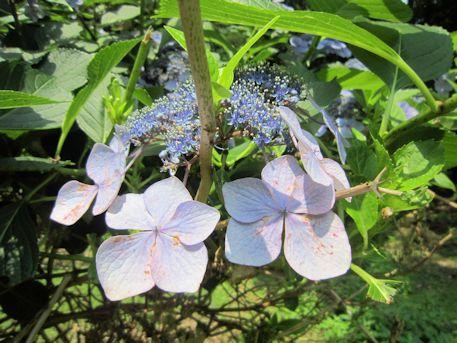 三輪山麓の紫陽花