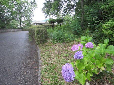 奈良県立民俗博物館の紫陽花