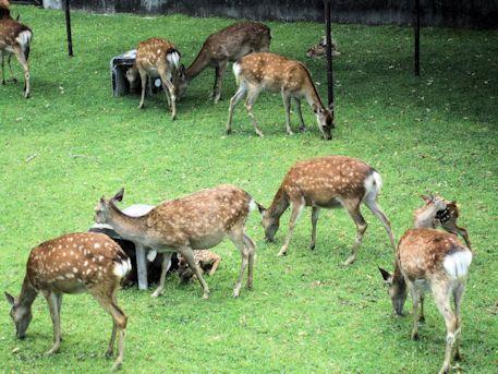 子鹿公開の鹿苑