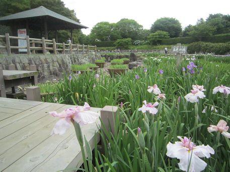 馬見丘陵公園の菖蒲園