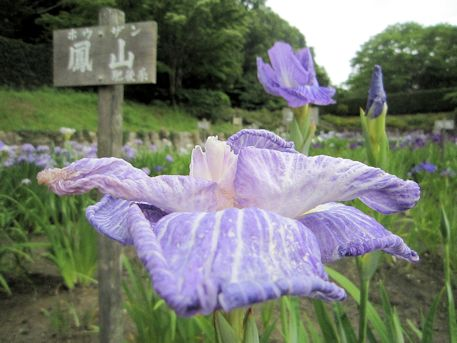 花菖蒲の鳳山
