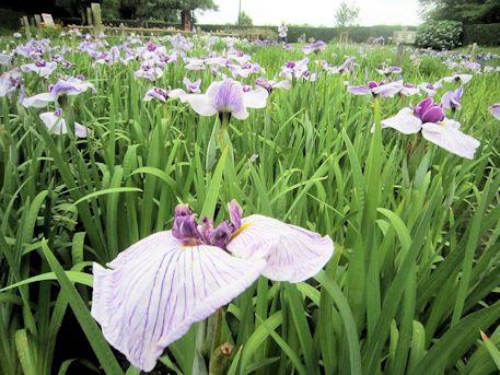 花菖蒲の紫明