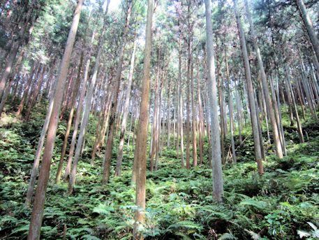 岩坂の杉木立