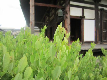 元興寺本堂と萩の葉