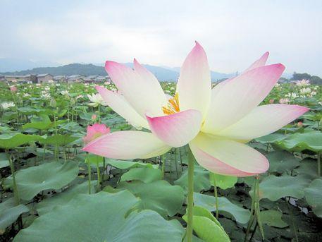 香具山とハスの花