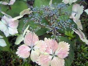 檜町公園に咲く紫陽花