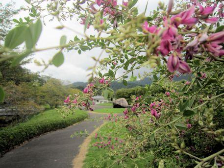 飛鳥資料館庭園の萩の花