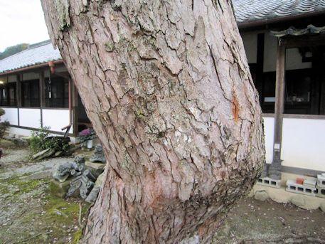 ハナノキの幹