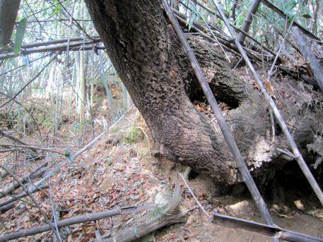 立子塚古墳の木