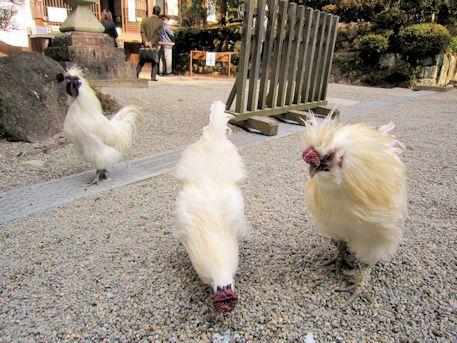 石上神宮の烏骨鶏
