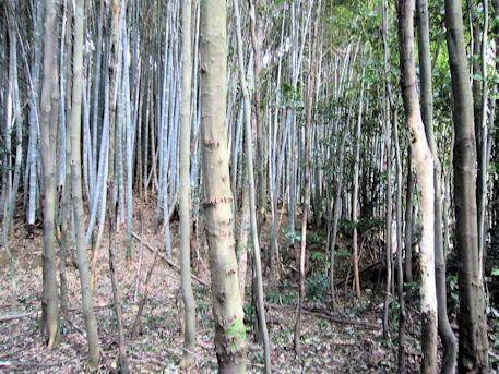 峯塚古墳の竹林