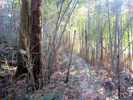 長瀬藪1号墳の竹林