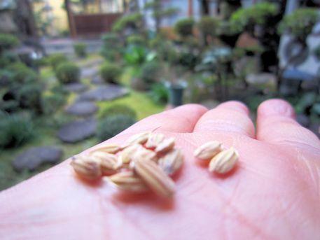 おんだ祭の籾種