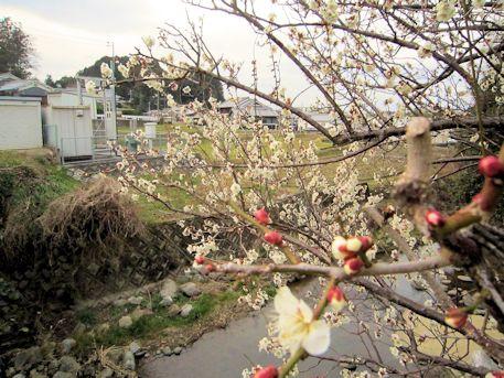 仲之橋袂に咲く梅