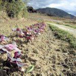葉牡丹園と三輪山