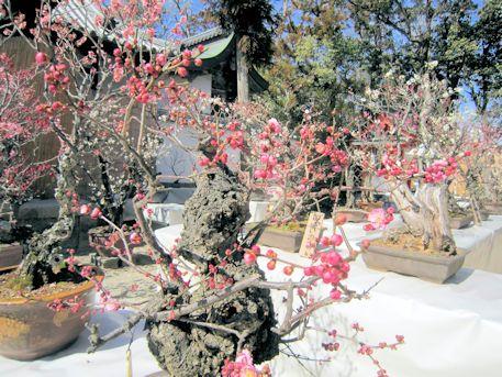 菅原の里盆梅展