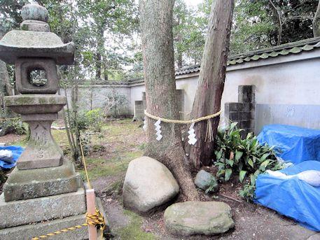 八幡神社の夫婦御神木