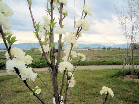 唐古鍵遺跡の花