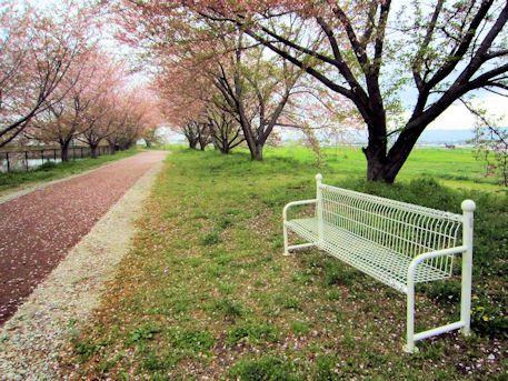 桜並木のベンチ