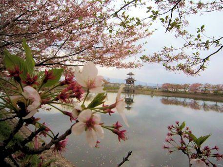 唐古池と桜