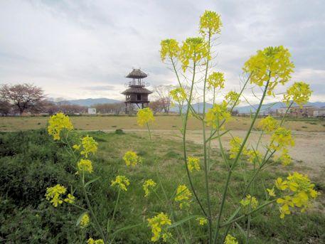 唐古鍵遺跡の菜の花